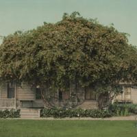 http://libexh.library.vanderbilt.edu/impomeka/2015-exhibit/MS0827-P-Ophir_Roses-1902.jpg